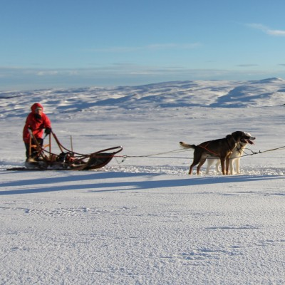 Husk dog sledding