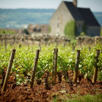 Vineyards of Olivier Leflaive in Burgundy